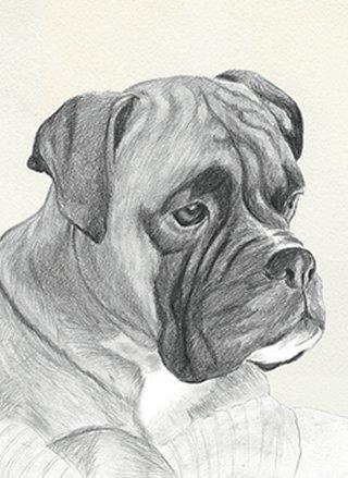 Portrait, Toby the boxer dog